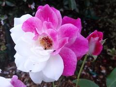 Pink and white (boeckli) Tags: flowers roses rosa rosen rose flower flora fleur plants plant pflanzen pflanze white weiss zweifarbig bicoloured outdoor newsouthwales australia garden garten blossoms blooms blumen blüten blossom bright bunt farbig colourful