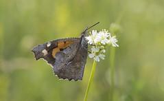 Nettle-tree Butterfly (Libythea celtis). (Bob Eade) Tags: butterfly bulgaria nettletreebutterfly libytheaceltis meadow europeanbutterflies bokeh macro lepidoptera libytheidae