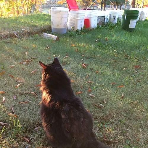 Shadow is outdoors with the dye buckets.... #black cat #catsofinstagram #dyebuckets #sundown #amityfarmbatik