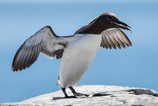 Guillemot Uria aalge - Bringing Home Its Catch