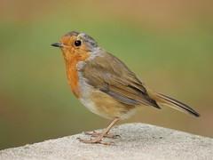 Robin (PhotoLoonie) Tags: bird robin wildbird wildlife nature