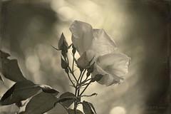 White Rose ... (MargoLuc) Tags: white rose flower sunlight leaves backlight monochrome bokeh bw nature blossoms