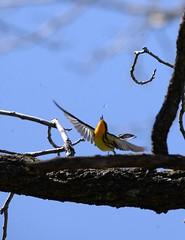 Blackburnian Warbler (Daniel and Patricia Lafortune) Tags: warbler warblers bird birds wildlife nature outdoor outdoors ontario canada wild beautiful