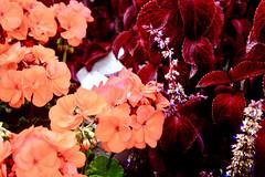 Flowers (i_kaya@rogers.com) Tags: photograph photography art toronto canada ontario
