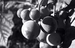 Grapes. (ALEKSANDR RYBAK) Tags: виноград макро крупный план монохромный свет тени солнечный листва осень сезон погода природа grapes macro closeup monochrome shine shadows solar foliage autumn season weather nature