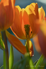 Hot, but short-lived fire (avnz101) Tags: flower tulip bright macro nature coth5