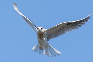 DSC_3241.jpg White-tailed Kite, Natural Bridges