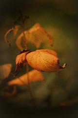 Autumn Draws Near (Dave Linscheid) Tags: leaf raspberry summer fall texture textured myyard butterfield watonwancounty mn minnesota usa
