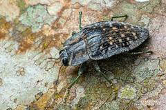Jewel beetle (Polybothris sp.) - DSC_2655 (nickybay) Tags: africa madagascar macro andasibe jewel beetle buprestidae polybothris