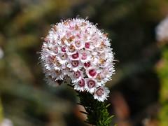 ADay In Kings Park, Perth, Western Australia (AdamsWife) Tags: westernaustralia perth kingspark plants flower flora wildflowers nature verticordia