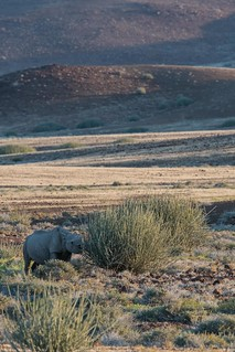 Hook-lipped Rhino against the landscape