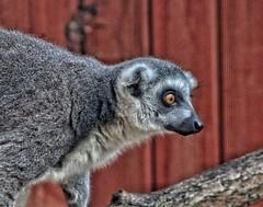 'I can hear someone!'😊 (LeanneHall3 :-)) Tags: grey white black lemur fur animal closeup closeupphotography wildlife nature aviary eastpark hull kingstonuponhull canon 1300d