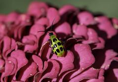 Cucumber beetle (Millie Cruz) Tags: inspiredbylove soe pest cucumberbeetle green blackspots bug insect diabroticaundecimpunctata flower petals zinnia nature outdoors canoneosrebelt6i ef100mmf28lmacroisusm macro