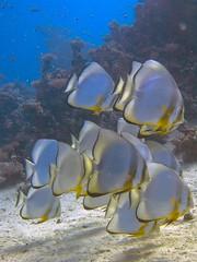 P1-009016 (charlesvanlangeveld) Tags: orbicularspadefish plataxorbicularis circularbatfish orbiculatebatfish roundbatfish orbicbatfish marsaalam redsea egypt indopacific underwater fish portraits scuba diving snorkling