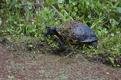 2018 05 07 469 Magnolia Plantation, SC (Mark Baker.) Tags: 2018 america baker carolina charleston magnolia mark may north plantation sc south us usa day east outdoor photo photograph picsmark rural snapping spring states swamp turtle united