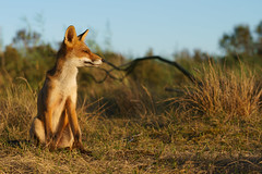 DSC01194BK (Geert Rooyackers) Tags: fox sonya7rii a7rii redfox wildlife vulpesvulpes