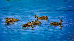 _1100125_a-1 (ron_kuest) Tags: ronkuest baskettsloughnationalwildliferefuge ducks