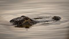 Silent Hunter 1 - Florida 2018 (scamart1st) Tags: florida water alligator wild circle b reserve lake hancock nikon d750 200 500 gator telephoto animal lizard