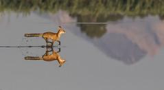Zorro (Antonio Lorenzo Terrés) Tags: laguna parque natural zorro vulpes rojo fauna animales naturaleza nature