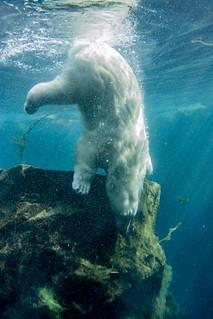 Polar Bear Deep Dive