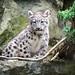Snow Leopard Kitten Sitting by a Tree