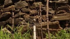 Asas e bico abertos... | Wings and beak open... I (JosBar) Tags: toutinegradosvalados toutinegradecabeçapreta flecha fulecra furamoitas sylviamelanocephala sardinianwarbler alcafozes idanhaanova aves avesemliberdade birds birdsinfreedom canoneos1dx fullframe canonef400mmf28lisiiusm josbar joséluísbarros portugal birdphotographing nocaptivitybirds freebirds faunaportuguesa faunaibérica iberianbirds natureza nature birdwatching fauna ornitologia ornithology wildlife vidaselvagem animals animais birding vidaanimal feathers penas avifauna portuguesebirds birdsinportugal avesemportugal avesdeportugal asas wings observaçãodeaves fotografiadeaves fotografiadenatureza naturephotographing observadordeaves fotógrafodeaves fotógrafodenatureza naturephotographer birdphotographer birdwatcher birdie dodo beak ornitófilo birdinginthewild avian avianphotography biodiversidade biodiversity