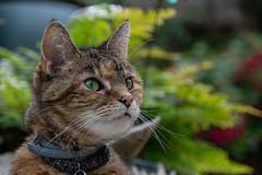 Water Drops (Shastajak) Tags: lola cat tabby domesticshorthair moggy rehomed rescued waterdrops fifteenyearsold