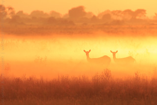 Red Lechwe Sunrise