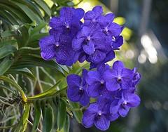 Vanda Pachara Delight 'Isabella' (ACEZandEIGHTZ) Tags: orchid closeup nikon d3200 bokeh coth alittlebeauty coth5 sunray5