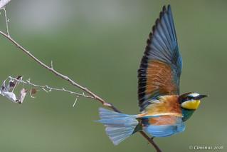 Merops apiaster (Gruccione comune, European bee-eater).