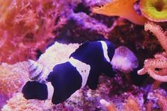 Camden Aquarium (lilianaizaola) Tags: animal aquarium black white stripe fish coral reef underwater sea ocean beautiful colorful
