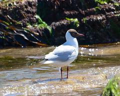Black-headed Gull (Lanius Excubitor) Tags: black headed gull nikon seabird water sand rocks seaweed