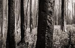 burned zone (jtr27) Tags: dscf0275xl jtr27 fuji fujifilm xt20 xtrans xf 1855mm f284 rlmois lm ois kitlens kitzoom grosventre wilderness bridger teton nationalforest hike hiking backpacking wyoming wy charred burned landscape blackandwhite monochrome bw nb