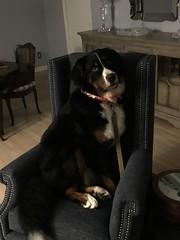 CookieInCollar (Alpen Schatz - Mary Dawn DeBriae) Tags: happy customer alpenschatz bernesemountaindog dog swissdogcolar hunterswisscrosscollar doggles stein
