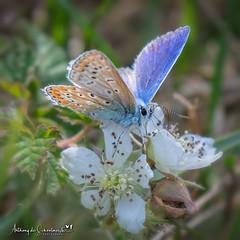 Common Blue (Female) (Anthony de Schoolmeester) Tags: butterfly blue commonblue female nature naturephotography wildlife wildlifephotography nikond500 nikonafs20050056e pembreycountrypark