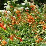 Au jardin, l'invasion des montbretias ou crocosmia aurea , Bosdarros, Béarn, Pyrénées Atlantiques, Nouvelle-Aquitaine, France. thumbnail