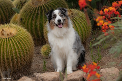 35/52 Greeter at the cactus garden (Jasper's Human) Tags: 52weeksfordogs 52wfd dog cactus garden flower aussie australianshepherd greeter