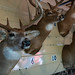 Mounted Deer with Antlers - Taxidermy - Turn in Poachers at Minnesota State Fair