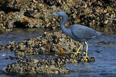 Eastern Reef Egret_1486 (Egretta sacra) (Neil H Mansfield) Tags: egrettasacra egret wader native nature camdenhead nsw reef easternreefegret