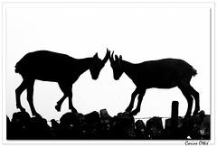 Et pour terminer la série, deux silhouettes ! (C. OTTIE et J-Y KERMORVANT) Tags: nature animaux mammifères bouquetins bouquetinsdesalpes capraibex montagnes suisse