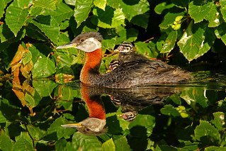 Red-necked Grebe & Chicks - Nice Reflection