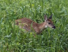 082618154601asmweb (ecwillet) Tags: deer fawn wildwoodparkharrisburgpa nikon nikond500 nikon200500f56 ecwillet