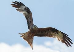 Red Kite (Milvus milvus) (Eastern Davy) Tags: redkite milvusmilvus birdsofprey bird outdoor raptor dumfries scotland canon 70d 300mm