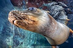 Brown California Sea Lion (NickPolanszkyPhotography) Tags: nick polanszky underwater photography scuba diving brown california sea lion canon 5diii aquatica lions los islotes la paz mexico baja sure sur
