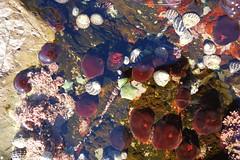 Bass Point Waratah Anemones (Celeste33) Tags: basspoint australia rockpool waratahanemone seastar