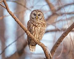 Who's there?... (DTT67) Tags: barredowl owl 500mm 5dmkiv raptor birdofprey bird maryland canon wildlife nature