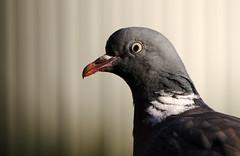 Wood Pigeon portrait. (Chris Kilpatrick) Tags: chris canon canon7dmk2 outdoor wildlife nature animal bird woodpigeon douglas isleofman garden springwatch sigma150mm600mm