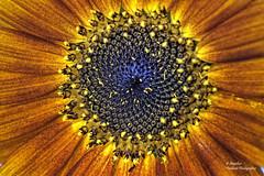 Sunflower Core (Helianthus) (Explore Sep 10, 2018 #380) (Abariltur) Tags: abariltur castellón spain nikond90 afsvrmicronikkor105mmf28gifed macro helianthusannuus sunflower eveningsun variantedegirasol sunflowerpetalsopening yemadegirasol benicássim castellódelaplana