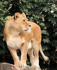 African lion Kianga artis JN6A1950 (j.a.kok) Tags: leeuw lion africa afrika afrikaanseleeuw africanlion animal artis predator mammal zoogdier dier pantheraleoleo kat cat kianga