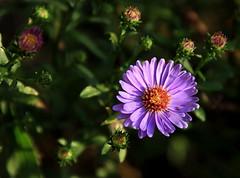 purple mum (Hayseed52) Tags: purple mum flower plant bunny